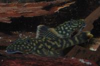 Bild 11: Guyanancistrus brevispinis orientalis (L41 / LDA 43)