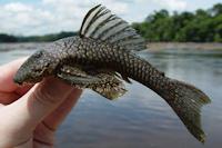 Bild 3: Guyanancistrus longispinis