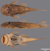 Pic. 2: Guyanancistrus nassauensis. MHNG 2679.100, holotype, 42.0 mm SL; Suriname: Sipaliwini: Paramaka Creek, Nassau Mountains.