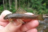 Guyanancistrus nassauensis. MHNG 2679.100, holotype, 42.0 mm SL; Suriname: Sipaliwini: Paramaka Creek, Nassau Mountains.
