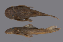 Guyanancistrus teretirostris. MZUSP 117149, holotype, 97.6 mm SL; Brazil: Sipaliwini/Parú Savannah in Trio Amerindian territory at the Suriname-Brazil border, tributary of Parú de Oeste River.