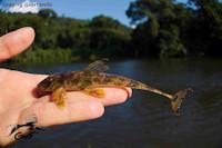 Harttia guianensis, Approuague river