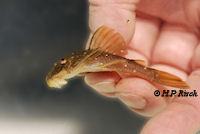 Bild 3: Hemiancistrus meizospilos aus Uruguay