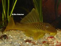 Pic. 9: Hemiancistrus subviridis (L200)
