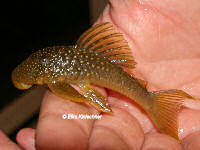 Bild 3: Hemiancistrus subviridis (L200)
