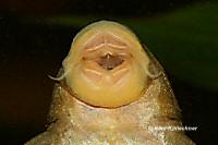 foto 57: Hemiancistrus subviridis (L 200)