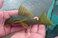 Hemiancistrus subviridis - Río Ventuari