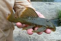 Bild 6: Hemiancistrus subviridis - Río Ventuari