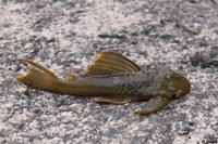 Pic. 6: Hemiancistrus subviridis - Río Ventuari