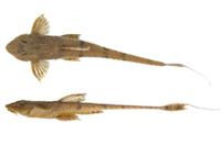 Hemiloricaria aurata = Rineloricaria aurata; arroyo Pirebebuy, Dpt. Cordillera