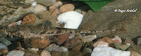 Bild 3: Hemiloricaria beni/Rineloricaria beni