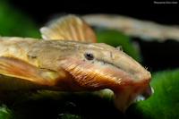 Bild 9: Hemiloricaria eigenmanni/Rineloricaria eigenmanni