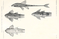 Bild 5: Hemiloricaria fallax/Rineloricaria fallax
