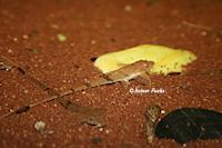 Bild 5: Hemiloricaria formosa/Rineloricaria formosa