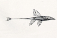 Rineloricaria konopickyi - Lateralansicht