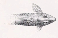 Bild 3: Rineloricaria konopickyi - Dorsalansicht