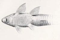 Bild 4: Rineloricaria konopickyi - Ventralansicht