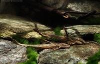 foto 5: Hemiloricaria lanceolata/Rineloricaria lanceolata