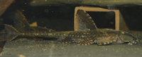 Bild 6: Hemiloricaria lanceolata/Rineloricaria lanceolata