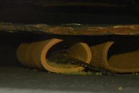 foto 8: Hemiloricaria lanceolata/Rineloricaria lanceolata