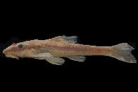 Hisonotus francirochai, 33.3 mm SL, MZUEL 10120