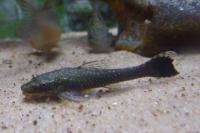 Bild 4: Hisonotus maculipinnis