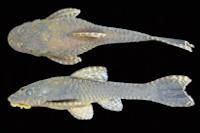 . Hisonotus nigricauda, MCP 40761, female, 37.2 mm SL. Arroio Banhado Grande on road between Bagé and Caçapava do Sul, Bagé, Brazil