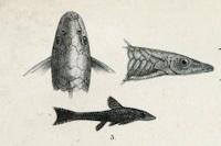 Bild 4: Hisonotus nigricauda