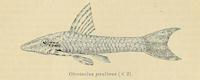 Hisonotus paulinus