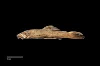 Fotos 4: Hopliancistrus tricornis (L212 / LDA 15)