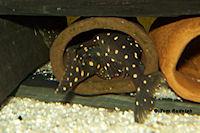 foto 5: Hypancistrus contradens