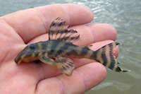Bild 7: Hypancistrus furunculus am río Ventuari