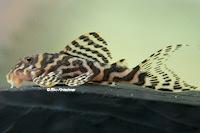 """Bild 16: Hypancistrus sp. """"L66"""""""