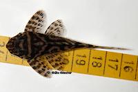 """Bild 14: Hypancistrus sp. """"L66"""""""