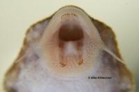 "Bild 67: Hypancistrus sp. ""L136"" / ""LDA 5"""