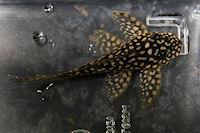 """Bild 3: Hypancistrus sp. """"L136"""""""
