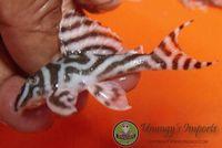 "Hypancistrus sp. aff. zebra ""L173"""