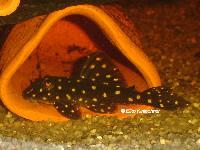 """Bild 28: Hypancistrus sp. """"L201"""""""