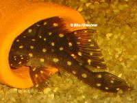 """Bild 32: Hypancistrus sp. """"L201"""""""