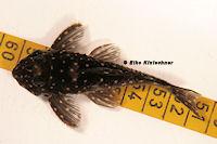 """Bild 3: Hypancsitrus sp. """"L201"""", male"""