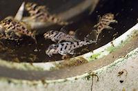 """Bild 10: Hypancistrus sp. """"L236"""""""