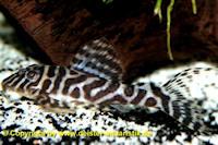 """Bild 2: Hypancistrus sp. """"L345"""""""