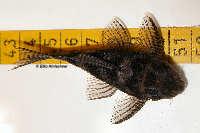 "foto 10: Hypancistrus sp. ""L411"""