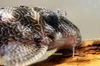 "foto 11: Hypancistrus sp. ""L411"""