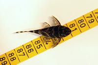 "Bild 9: Hypancistrus cf. debilittera ""L454"""