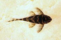 "Bild 10: Hypancistrus cf. debilittera ""L454"""