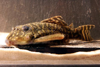 "Bild 6: Hypancistrus sp. ""L454"" Männchen, ca. 12,5 cm TL"