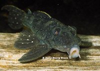 Bild 2: Hypancistrus lunaorum (L339)