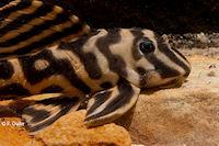 "Bild 3: Hypancistrus sp. ""Rio Madeira"""