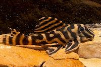 "Hypancistrus sp. ""Rio Madeira"""